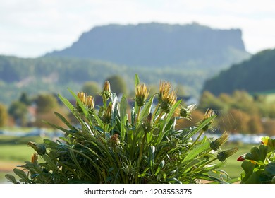 Flowering plant with the Lilienstein in the Elbe Sandstone Mountains in the background
