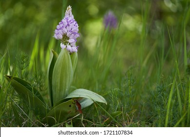 Flowering plant Orchis militaris in the spring in the meadow. Known as Military Orchid. Purple flower with large green leaves growing in the grass.