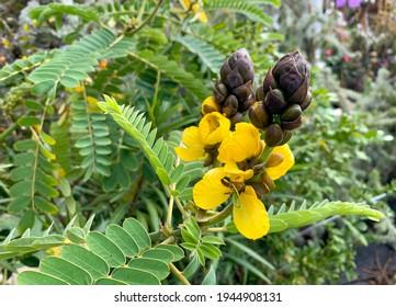 Flowering plant Senna didymobotrya also known as African senna, popcorn senna, candelabra tree, and peanut butter cassia