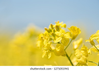 Flowering plants. Rape plant in spring against a blue background. Many flowers are yellow