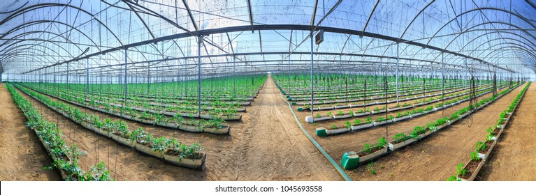 Flowering plants of tomatoes growing in the pots, inside giant plantation of hydroponic greenhouse. Concept farming, food production. Somewhere in Portugal