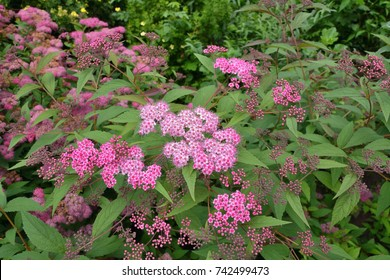 Flowering plants Valerian Root.  (Valeriana officinalis)