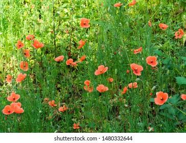flowering poppy (Papaver rhoeas). Wild grown poppies. Flowering period: May - August. Location: Germany, North Rhine-Westphalia, Borken