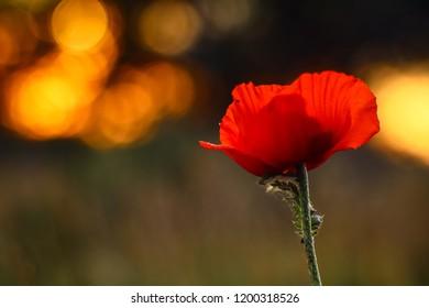 flowering poppy. Red flower. Bokhe