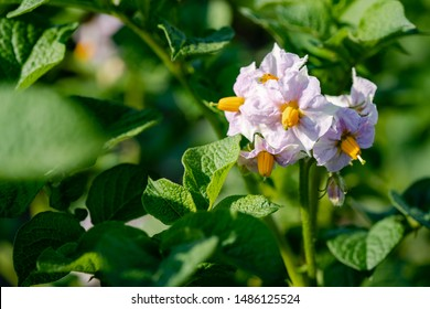 Flowering potato. Potato flowers blossom in sunlight grow in plant. White blooming potato flower on farm field. Close up organic vegetable flowers blossom growth in garden. Not Genetically engineered.