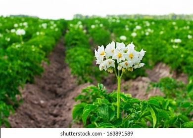 Flowering potatoes on the field.