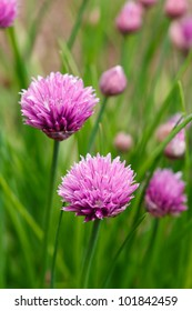 Flowering purple chive blossoms against green are a favorite homegrown herb found in spring gardens.  Botanical Name - Allium Schoenoprasum
