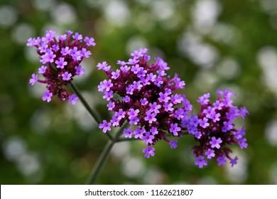 Flowering Purpletop Vervain (Verbena bonariensis)