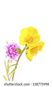 Flowering Purslane