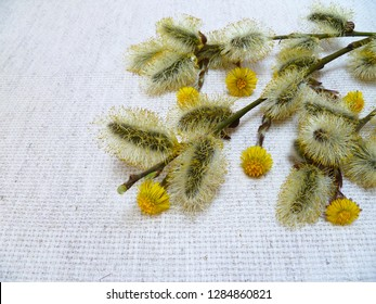 Flowering pussy willow branch and colts-foots (Tussilago farfara) flowers on a canvas background. Selective focus,close-up