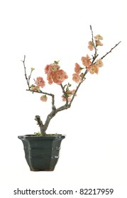 flowering quince in the pot-isolated