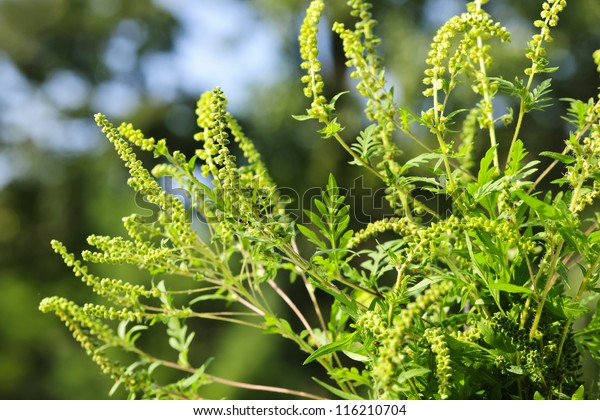 Flowering ragweed plant growing outside, a common allergen