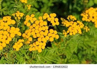 Flowering rainfarn, tanacetum vulgare, in the wilderness