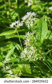 Flowering Ramsons in summer on a meadow