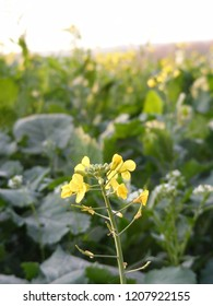 Flowering rape field. Close up blossom of colza plant.
