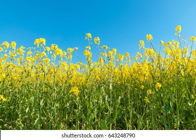 Flowering rape plants against clear blue sky in close up; Raw material for animal feed, rapeseed oil and bio fuel; Yellow flowering crop plant; Source of nectar for honey bees