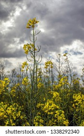 Flowering rapeseed canola or colza in the spring in the fields, the seeds of which are used in for green energy and oil industry, Ukraine is the leader in growing