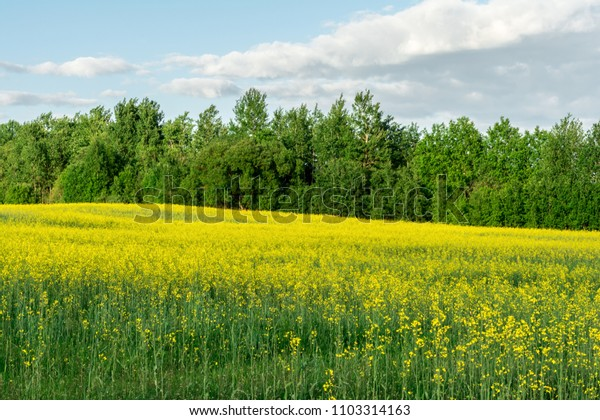flowering rapeseed field and blue sky with clouds during sunset, landscape spring, nature abstract background