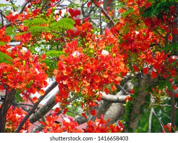 Red Acacia Images Stock Photos Vectors Shutterstock