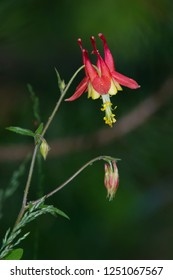 A flowering Red Columbine plant