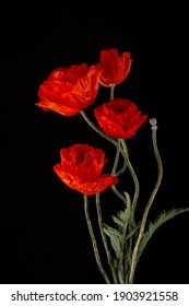 Flowering red garden poppies with bent stalks and undiscovered green buds on a black background. Poster, banner, card