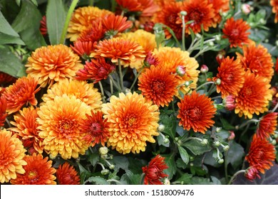 Flowering Red orange chrysanthemums in autumn garden. Chrysanthemum koreanum.  Background with blossoming a chrysanthemums. Chrysanthemum flowers horizontally.