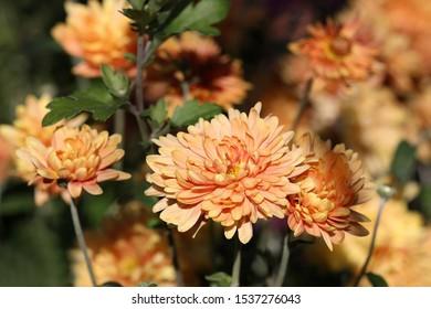 Flowering Red orange chrysanthemums in autumn garden. Chrysanthemum koreanum.  Background with blossoming a chrysanthemums.