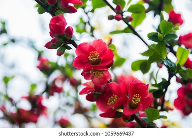 Flowering red wild Japanese quince,Japanese Quince branch