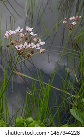 Flowering reeds by a pond, reeds in water, reflection of sky.