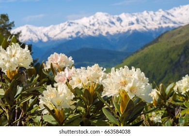 Flowering rhododendrons on the green slopes of the mountain range on a sunny day. Wild flowers in the alpine meadows of the Caucasian ridge, Georgia. Close-up.