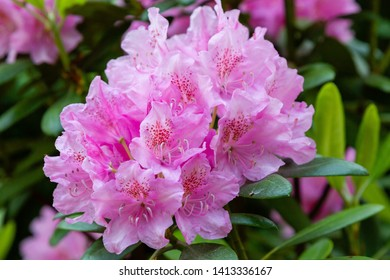 Flowering rhododendrons in the spring garden. Beautiful pink rhododendron flowers.