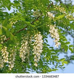 Flowering robinia, Robinia pseudoacacia