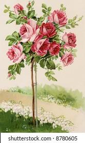 Flowering rose bush - a 1909 vintage illustration