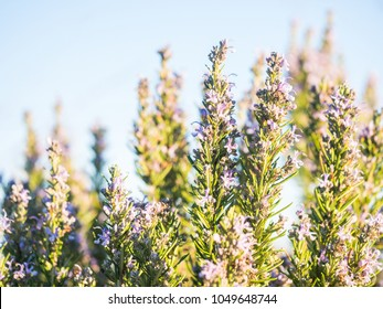 Flowering rosemary plant (rosmarinus officinalis) in Esporao, Portugal, at sunset