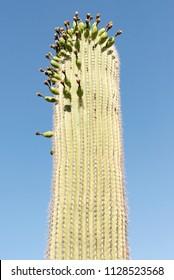 flowering Saguaro (Carnegiea gigantea)   on a blue sky