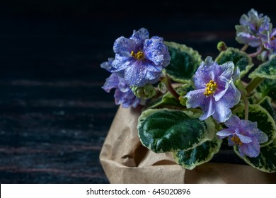 Flowering Saintpaulias, commonly known as African violet. Mini Potted plant. A dark background. Selective focus