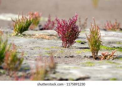 flowering samphire on Schiermonnikoog, the Netherlands