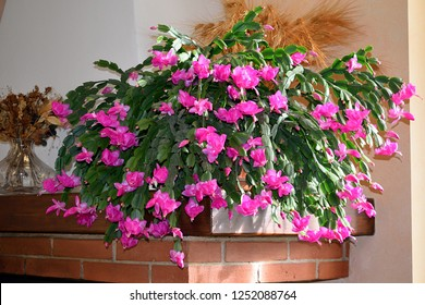 flowering of the Schlumbergera plant also known as Christmas Cactus