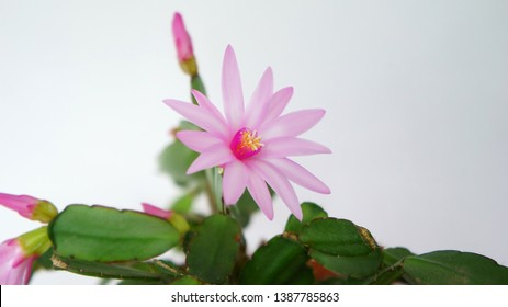 flowering of the Schlumbergera plant also known as Christmas cactus. Schlumbergera in the pot