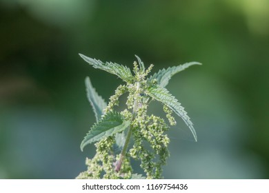 Flowering and seedling of a stinging nettle