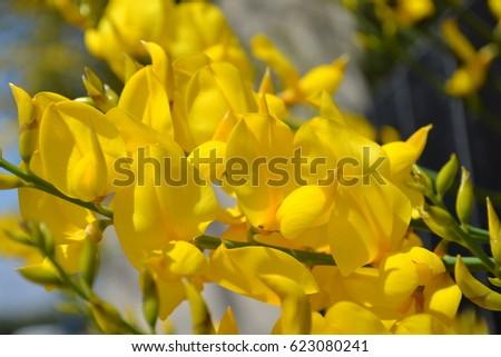 Flowering shrub gorse spain yellow gorse stock photo edit now flowering shrub gorse in spain yellow gorse flowers against the blue sky beautiful spain mightylinksfo