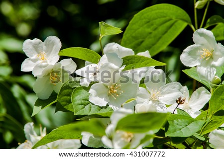 Flowering shrub small fragrant white flowers stock photo edit now flowering shrub with small fragrant white flowers mightylinksfo