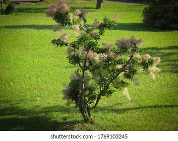 Flowering Smoketree or Cotinus against in Iran in spring. European smoketree known as rhus cotinus, Eurasian smoketree, smoke bush, Skumpiya tanning or dyer's sumach in the family Anacardiaceae.