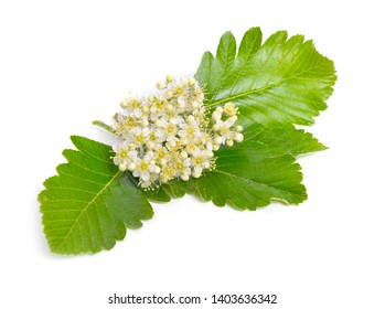 Flowering Sorbus intermedia Isolated on white background