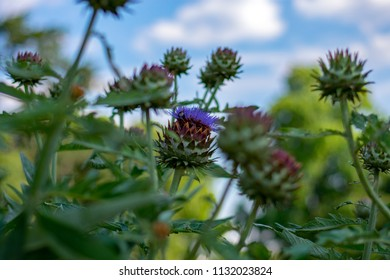 Flowering spiked cardoon