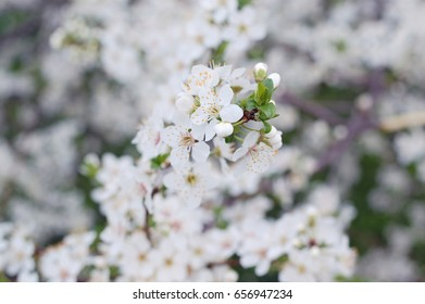Flowering spring branches