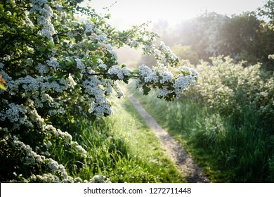 Flowering Spring Hawthorne hedge in early morning light in the English county of Nottinghamshire,UK.