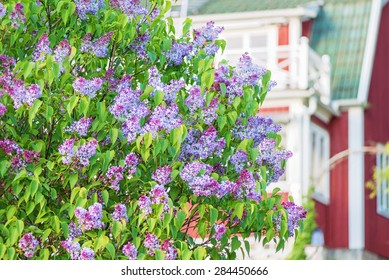Flowering spring lilac (syringa) bush with red house, Sweden