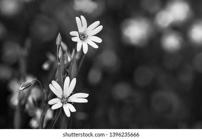 Flowering spring wildflower detail in black and white. Common starwort. Stellaria graminea. Melancholy romantic wild herb blooms and buds. Abstract dark background. Copy space, selective focus, bokeh.