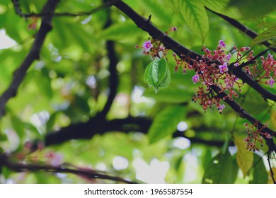 Flowering starfruit plant in foreground, with blur, bokeh background. A single starfruit can be seen. Lush nature wallpaper with copy space